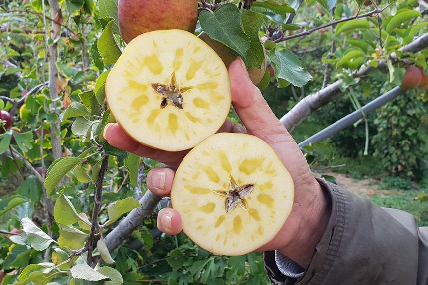 結蜜的蘋果會呈現半透明深黃色,吃起來清脆甜美
