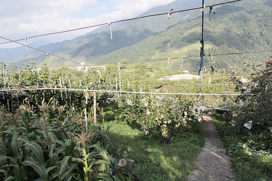 果園面對層層山巒,在其中工作使人心情開闊。