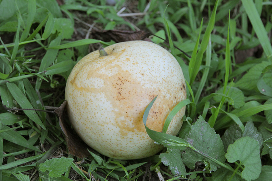 梨子上滿布蚜蟲蜜露造成的淡棕色塊