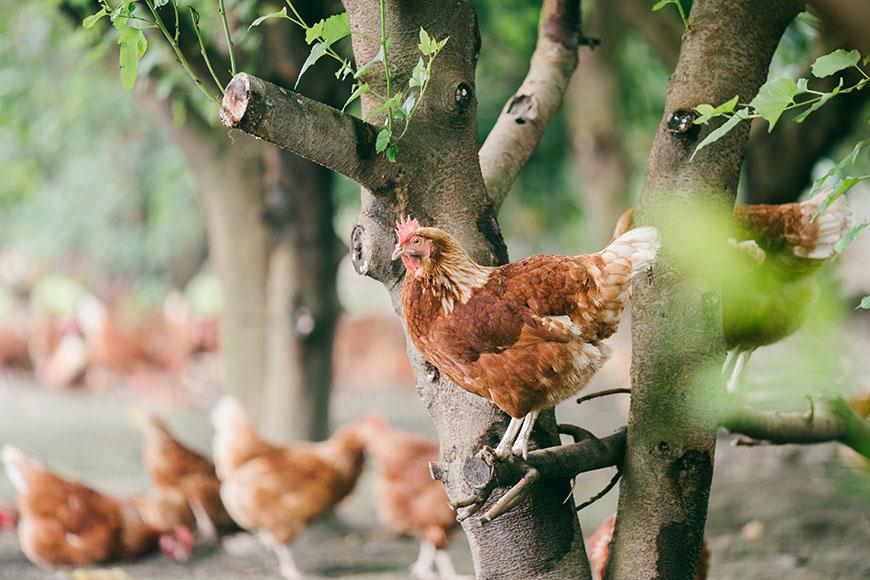 善糧放牧雞蛋  生產者為永興畜牧場,除維持放牧方式的人道飼養,也將飼料中的基改黃豆、玉米原料,改成非基改等級,支持非基改邁向新里程碑。  自然放牧,增加雞隻傷病、雞蛋破損、產能降低風險,卻換來牠們自由、快樂的生活空間。母雞產蛋六週前便開始食用非基改玉米、黃豆,搭配維生素、礦物質和胺基酸等原料製成之飼料。飼養全程不用藥物、不靠斷食強迫雞隻換羽、不餵食額外添加色素之飼料。  牧場介紹:永興畜牧場