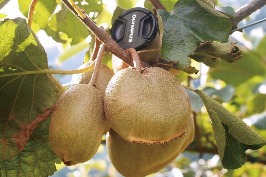 以鏡頭蓋作為比例尺,台灣獼猴桃果實大小令人期待。