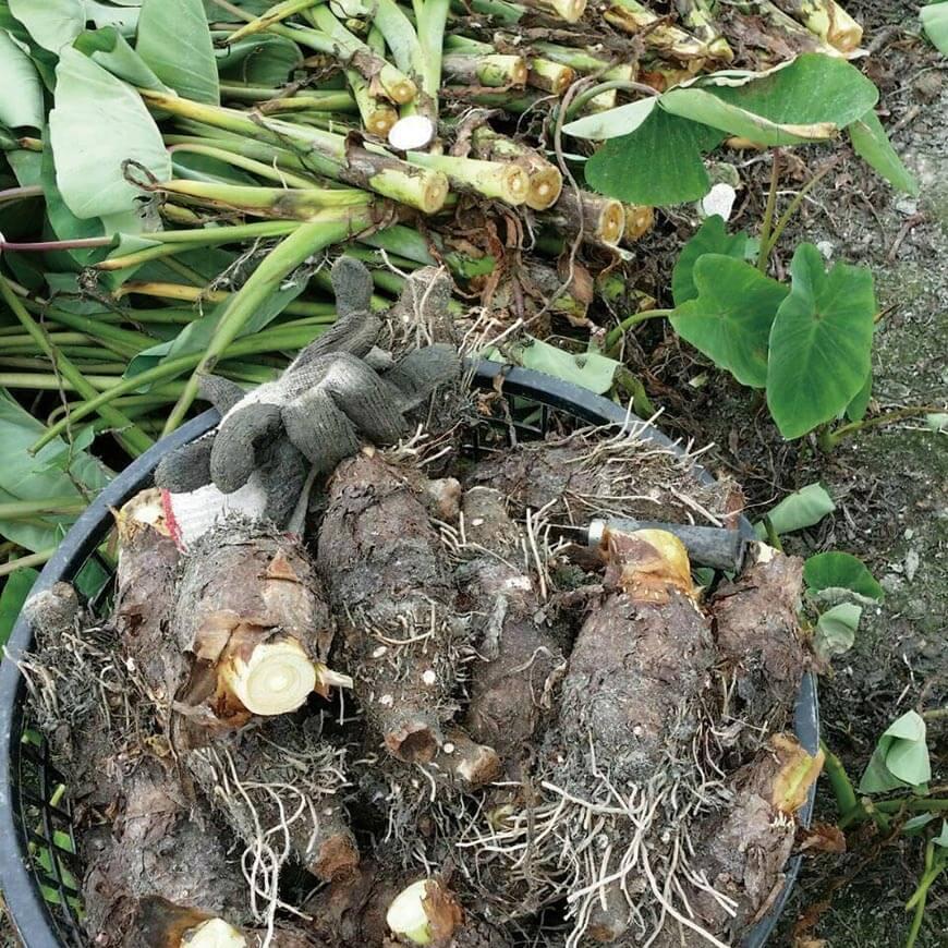 林義職的芋頭偏細長狀,有別於市售的大圓滾型。蟲咬部分切掉處理,賣相較差的則請姑姑製作芋圓、芋泥包到市集販賣。