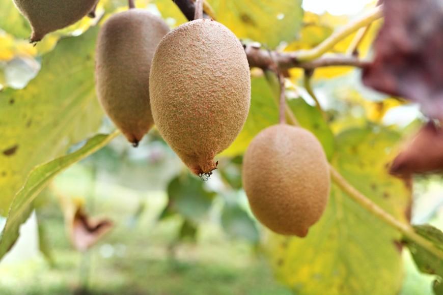 奇異果。涂旭帆。獼猴桃。奇異果保存方式。