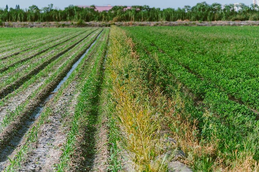 與台糖承租的農田,春秋兩季分別以玉米(左)和花生(右)輪作栽培養地。