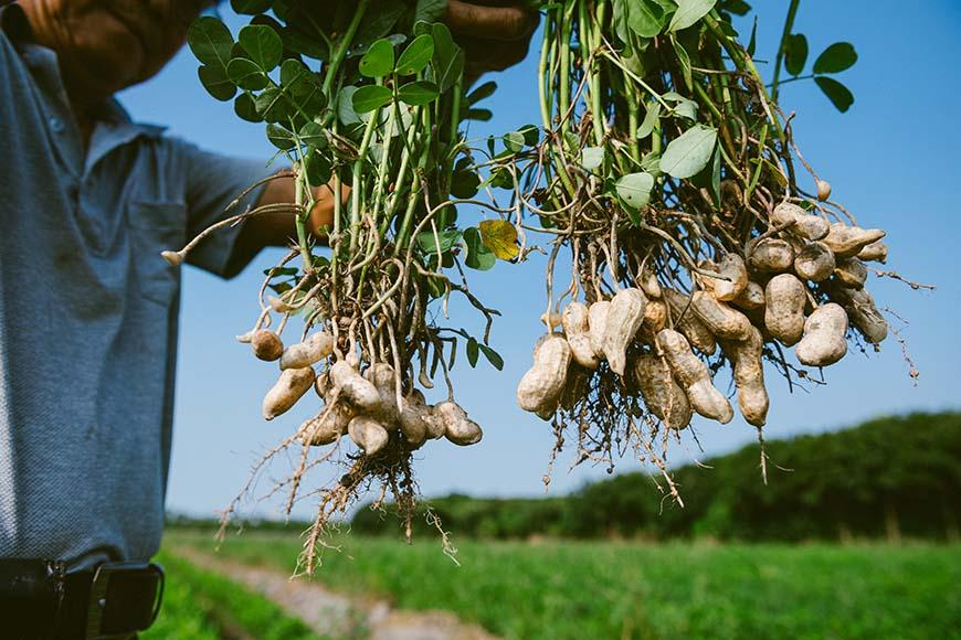 農友配合農改場進行花生新品種開發試種(右),適合滷燉的鬆綿口感與台南18號(左)的細緻香醇風味極為不同。