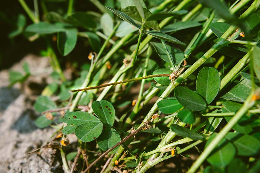 待生長在枝條上的黃色小花凋謝後,從根部長出的子房柄伸入土中才會結出花生果實。