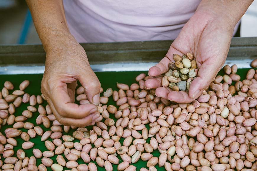充分乾燥的花生仁需經過人工篩選,不讓外觀破損和雜質影響花生品質。