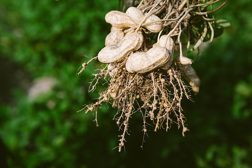 認識真正「土生土長」、吃來安心的本土落花生。長在花生株根部的根瘤菌,是確認其健康發育的表徵。