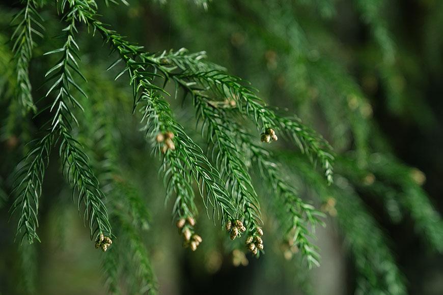 尚蘋果園,尚品果園,林浴沂,用手輕輕搓揉針葉,可聞到濃郁的芬多精。