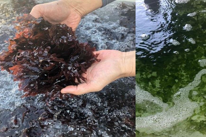 海木耳生長成分僅靠海水中天然營養物提供。翹船長。海木耳。天然養殖。