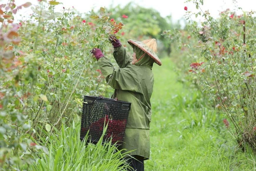 每天清晨5點多開始採收,採收時必須與時間、陽光賽跑,留住玫瑰花的香氣。(備註:拍攝當日屏東大雨,雨天花瓣含水量高不宜製成乾燥花瓣,另作其他用途。)。大花農場。楊添得。玫瑰花。玫瑰花茶。