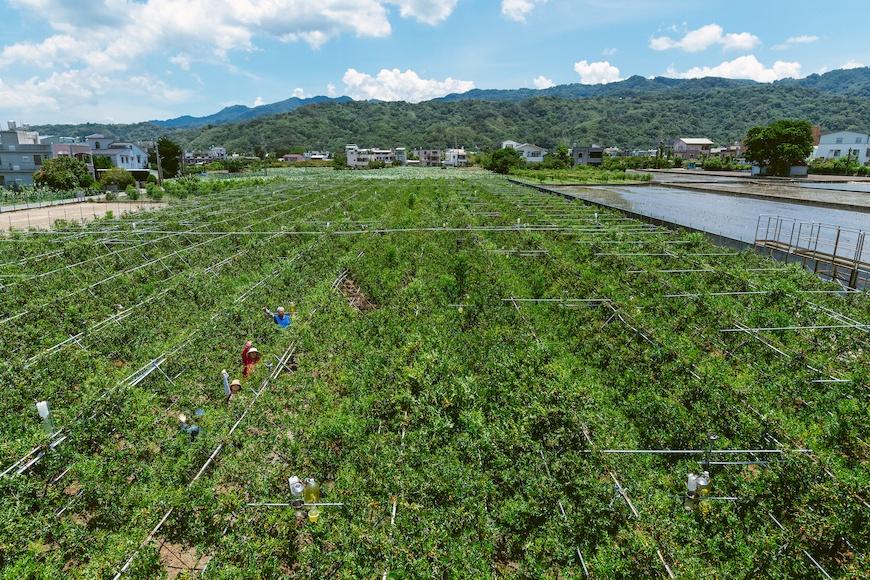 台灣市面上的紅棗絕大多數來自中國,苗栗縣公館鄉是本土紅棗的主要產地,黃炳華的紅棗園即位於此地。上校紅棗有機農場。黃炳華。紅棗。紅棗乾。Y型栽種法。永續農業。有機。