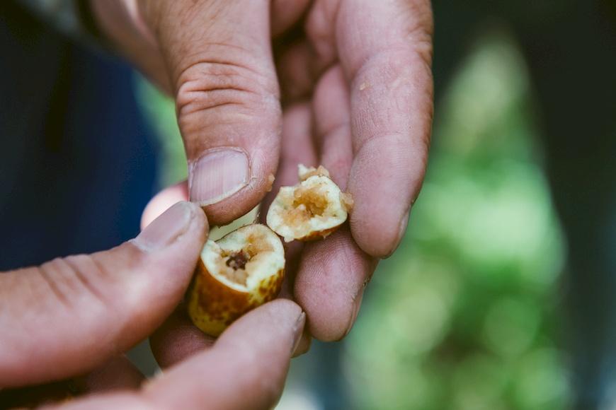 東方果實蠅會產卵於果實中,是紅棗主要的害蟲之一。上校紅棗有機農場。黃炳華。紅棗。紅棗乾。Y型栽種法。永續農業。有機。