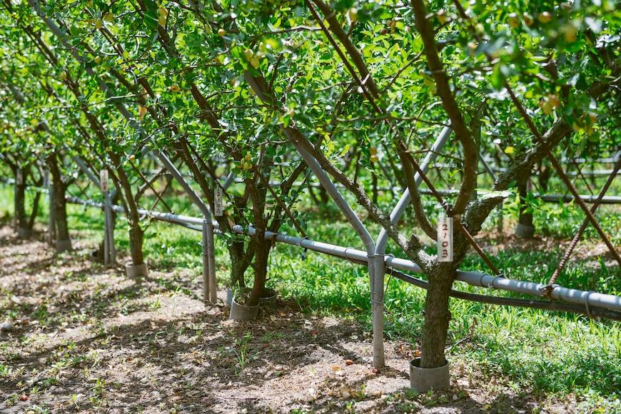 Y型格子種植法是黃炳華種出優質紅棗的關鍵。上校紅棗有機農場。黃炳華。紅棗。紅棗乾。Y型栽種法。永續農業。有機。