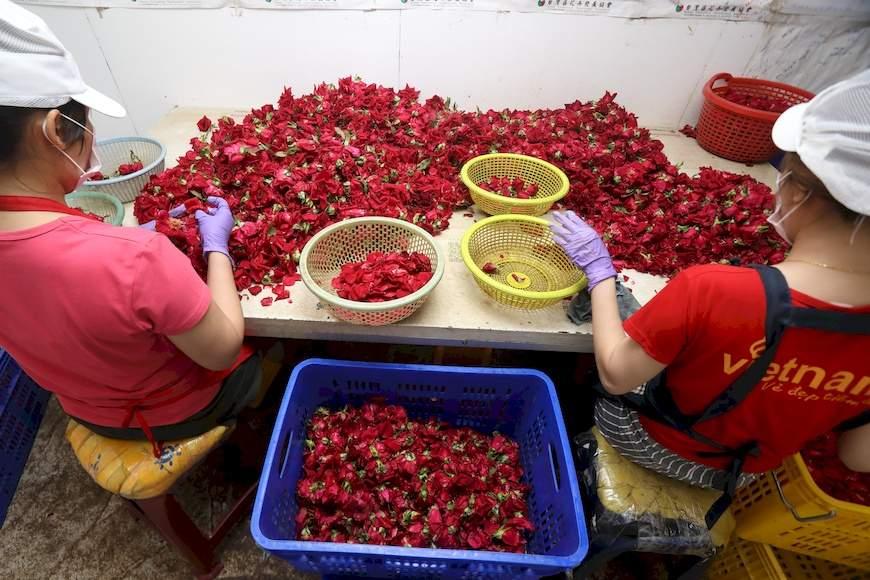 工作人員正在進行剝瓣篩選,去除花萼避免雜味及小蟲躲藏,挑選完整沒有病蟲害的花瓣,再進行加工。大花農場。楊添得。玫瑰花。玫瑰花茶。