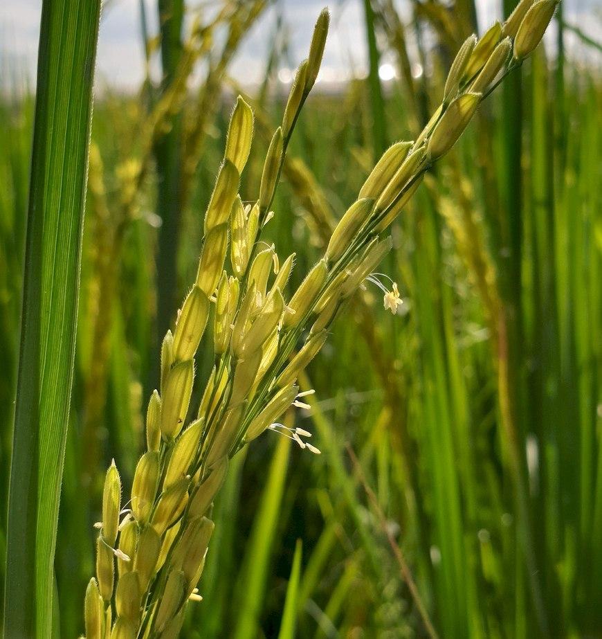 黑秈米稻花