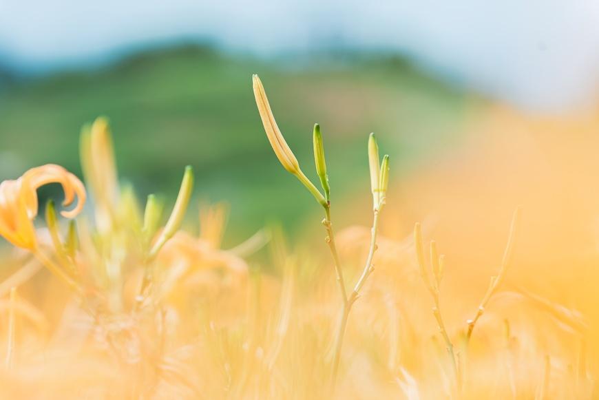 達蘭埠部落,金針花