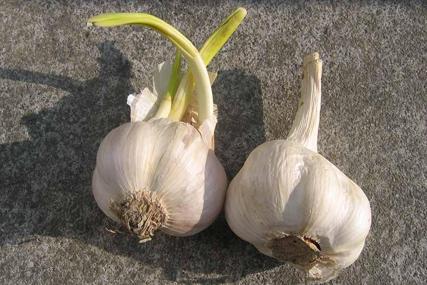 蒜頭發芽後不會產生毒素,可以吃,但風味會變比較差。  台灣本土蒜頭每到春季(約3月到5月),內部會開始準備發芽,可是外表卻看不出來,風味也都非常正常。但是再過一陣子,從外表就明顯看到冒出的新芽了,此時蒜頭將自身養分轉為發芽所需,因此風味變差。接著沒有台灣本土蒜頭可用,得等到5、6月後才能有新產的台灣本土蒜頭可用。(本段內容提供:姜淑禮)  此外,發芽後的蒜頭就是蒜苗,聯安診所營養師王貞云提到含硫化合物會變高,進而形成穀胱甘肽,為人體抗氧化酵素的重要成分,可幫助健康細胞抵抗自由基的破壞,提升抗氧化力跟免疫力,還能幫助代謝,所以大蒜發芽後營養價值更高。