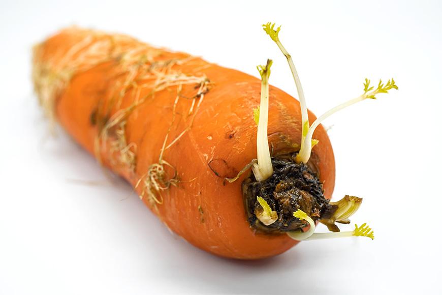 紅蘿蔔發芽後不會產生毒素,可以吃,但相對甜度和營養價值減少,建議盡快食用完畢。  紅蘿蔔的保存方式: 常溫保存約7天:以報紙各別包覆,存放於陰涼通風處。 冷藏保存約21天:擦乾紅蘿蔔外皮水分,若有帶葉子需切除,接著用報紙各別包覆,以直立方式冷藏保存。 冷凍保存約60天:生切細絲後以保鮮袋冷凍保存。