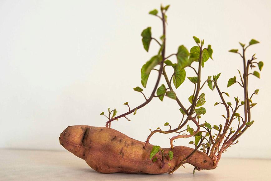 地瓜(蕃薯) 地瓜發芽後不會產生毒素,拔除芽根後可以吃,但地瓜會因發芽而大量流失水分與營養,建議盡快食用完畢。  地瓜的保存方式: 常溫保存:將地瓜放在籃子等有孔洞的容器內,置於陰涼乾燥通風處,冬天可保存約30天,夏天可保存約約10天。 冷凍保存約60天:地瓜去皮後切塊,用鹽水浸泡防止變黑,接著清水稍微沖洗,瀝乾後以保鮮袋裝好冰冷凍。
