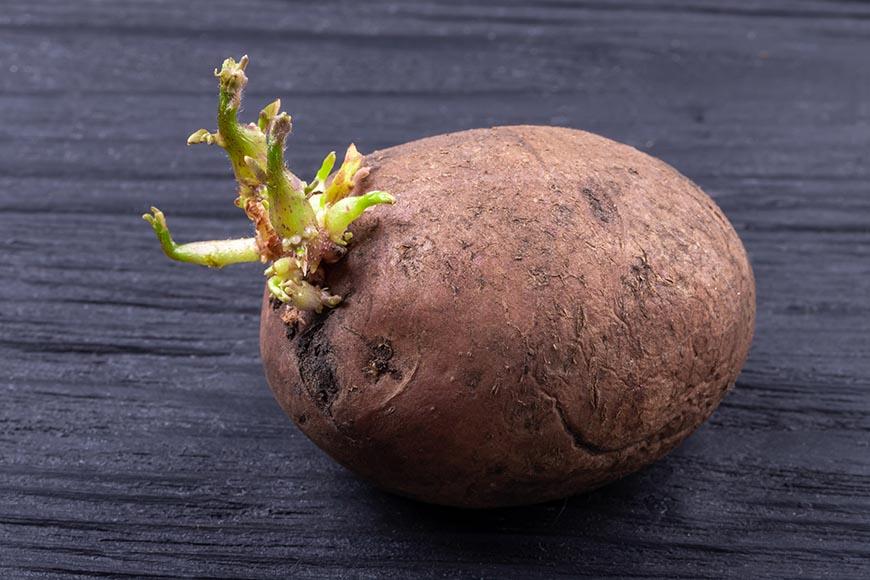 馬鈴薯 馬鈴薯發芽後會產生有害人體的生物鹼,例如:龍葵鹼(茄鹼)與毛殼霉鹼,其中龍葵鹼無法透過高溫烹煮而去除,若誤食發芽的馬鈴薯,人體可能會出現噁心、嘔吐和腹瀉等症狀,嚴重者恐導致意識不清,因此發芽後的馬鈴薯不可食用,應直接丟棄。  馬鈴薯的保存方式: 常溫保存約30天:將馬鈴薯的泥土稍微拍掉後,用報紙將馬鈴薯一顆顆包覆,或以深色紙袋包裹,避免陽光直射,放置通風陰涼處。 冷凍保存約30天:馬鈴薯去皮後切塊,於加了少許白醋的清水中約浸泡5分鐘,再以清水沖洗表面,瀝乾後將水份擦乾,放入保鮮袋中用冷凍保存。(不需解凍即可做料理)