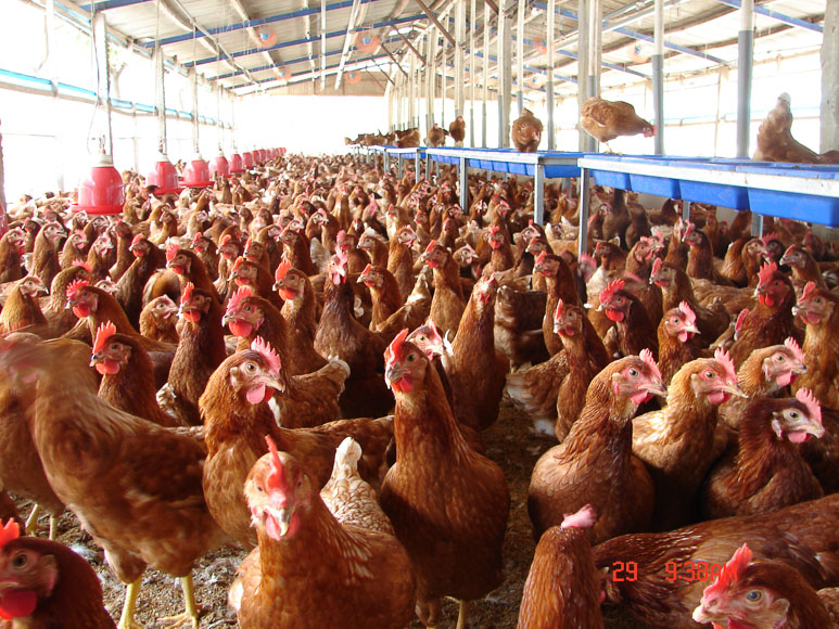 西湖雞蛋 生產者為五湖畜牧場,讓雞隻可以自由活動、自由覓食,回歸自然到成熟才產蛋,是牧場主人飼養蛋雞的信念。牧場雞舍具「人道飼養認證」,採傳統平飼,以酵素、益生菌提高雞的免疫力。人工手動撿蛋,同時堅持不洗蛋,確保蛋殼外層的完整保護膜不被水洗破壞,提高雞蛋的保存期限及營養價值。  牧場介紹:五湖畜牧場