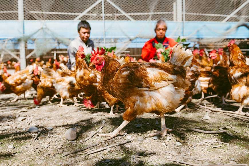 善糧動福雞蛋 生產者為有助牧場,重視動物福利,以放牧方式飼養,讓雞隻可自由進出戶外環境;親自配製飼料,從源頭嚴格管控動物用藥。  牧場介紹:有助牧場