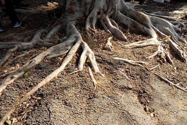 圖3-無法吸水造成樹木浮根-600