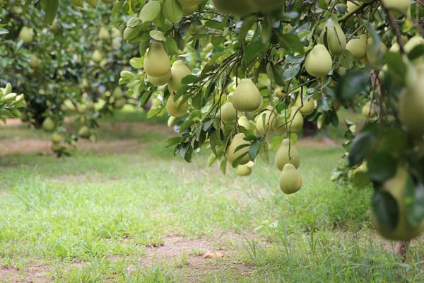 0草生栽培,而行良好整枝,重視葉果比的果園,讓每顆果實都能吸取到足夠的養分-600