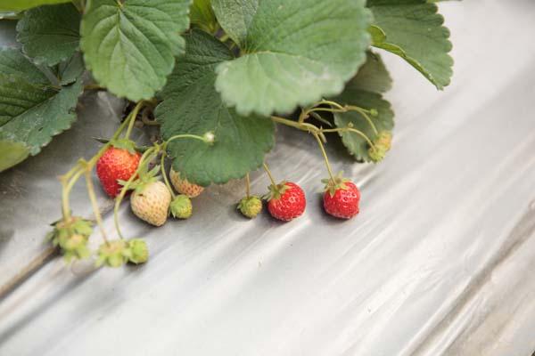 洪淑珍的有機路 (12)_草莓