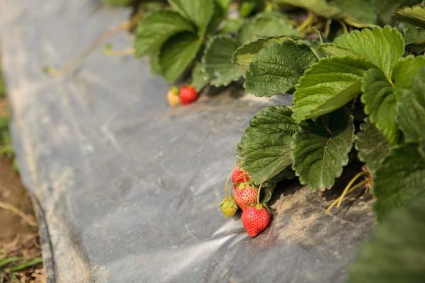 洪淑珍的有機路 (13)_草莓