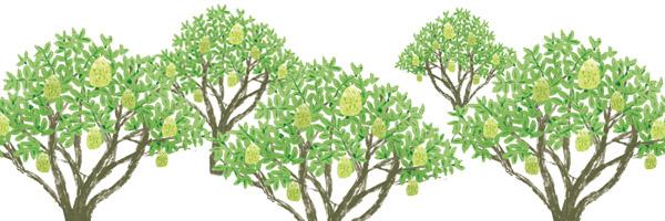 柚子樹組圖
